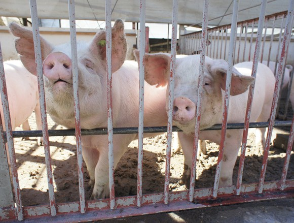 臼井農産さんの豚