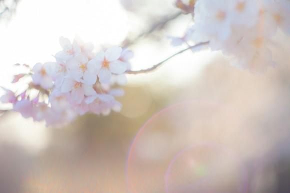 TSU85_sakurasayonara500
