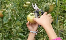 トマトのもぎとりに挑戦