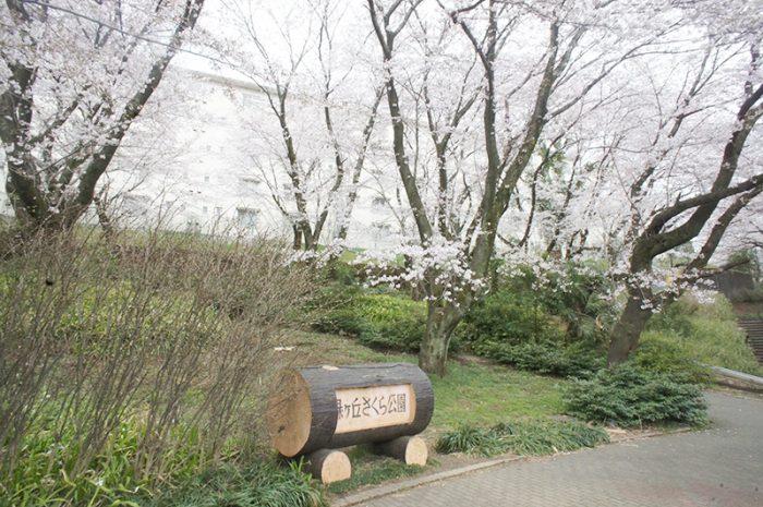 2017年の三川公園のさくら
