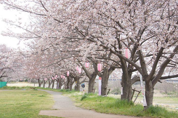 桜 相模川桜土手(厚木野球場周辺)