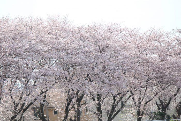 林妻橋 厚木 桜