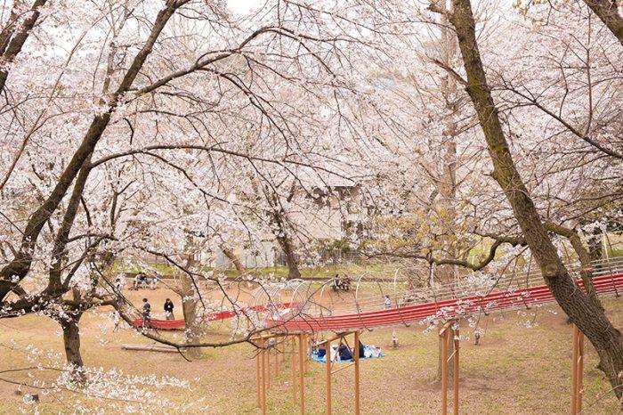 清水寺公園 桜
