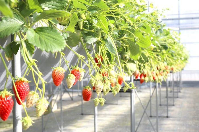 strawberry_02