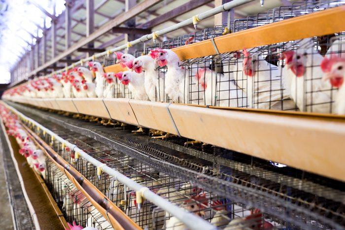 海老名市の清水鶏園